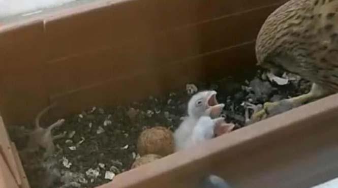 Ένα πτηνό που δεν περιμένεις να δεις στο παράθυρο μιας πολυκατοικίας στην πόλη (2)