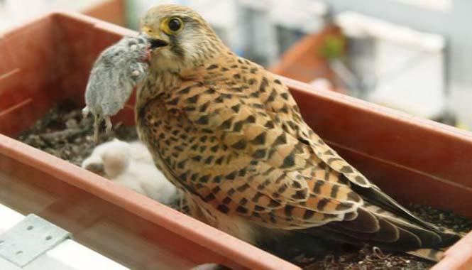 Ένα πτηνό που δεν περιμένεις να δεις στο παράθυρο μιας πολυκατοικίας στην πόλη (3)