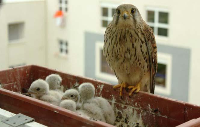 Ένα πτηνό που δεν περιμένεις να δεις στο παράθυρο μιας πολυκατοικίας στην πόλη (5)