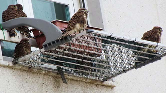 Ένα πτηνό που δεν περιμένεις να δεις στο παράθυρο μιας πολυκατοικίας στην πόλη (6)