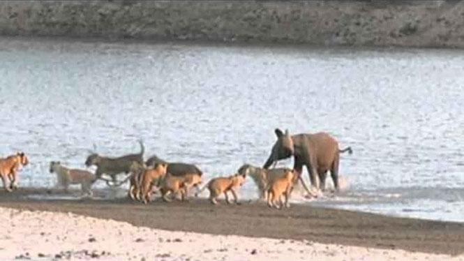 Ελεφαντάκι έρχεται αντιμέτωπο με 14 λιοντάρια... και επιβιώνει!