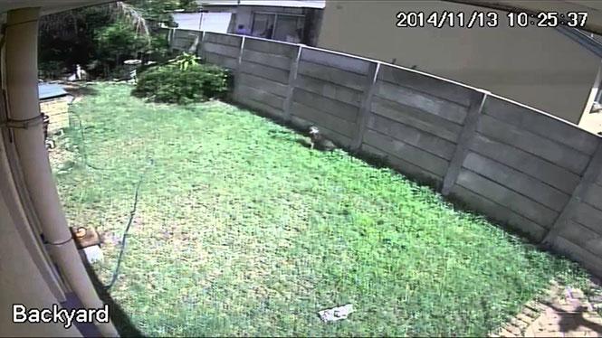 Μικροσκοπικός σκύλος τρομοκρατεί επίδοξο διαρρήκτη
