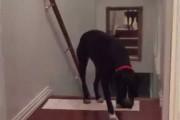 Αυτό το Pitbull βρήκε έναν ξεκαρδιστικό τρόπο για να ξεπεράσει τον φόβο του για τις πόρτες