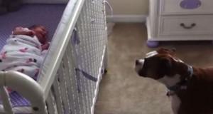 Η αντίδραση αυτού του Boxer στο νεογέννητο μωρό θα σας συγκινήσει (Video)