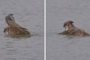 Κουκουβάγια που κολυμπάει