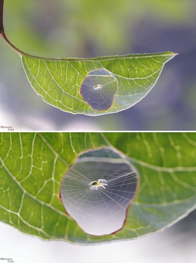 Αράχνη «επιδιορθώνει» ένα φύλλο | Φωτογραφία της ημέρας