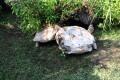 Χελώνα βοηθάει τον τουμπαρισμένο φίλο της (Video)