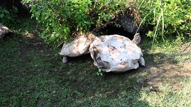 Χελώνα βοηθάει τον τουμπαρισμένο φίλο της