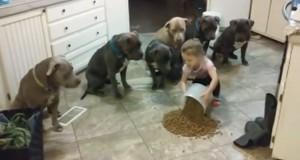 Δείτε μια 4χρονη να ελέγχει απόλυτα 6 πεινασμένα Pitbull (Video)
