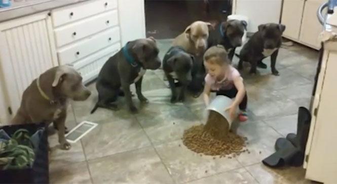 4χρονη ελέγχει 6 πεινασμένα Pitbull