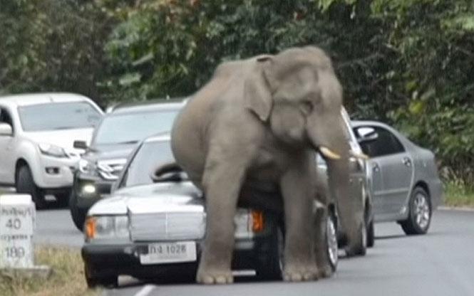 Ελέφαντας έσπειρε τον πανικό συνθλίβοντας αυτοκίνητα