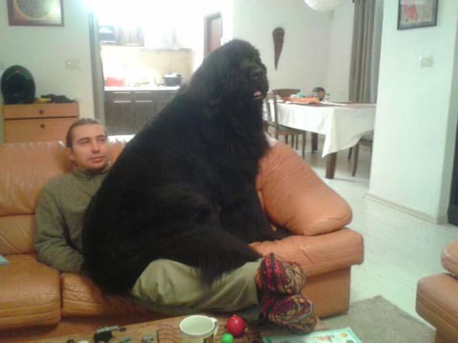 Σκύλοι που δεν έχουν καταλάβει πόσο τεράστιοι είναι (2)