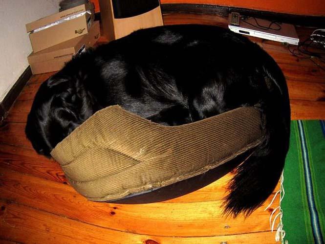 Σκύλοι που δεν έχουν καταλάβει πόσο τεράστιοι είναι (4)