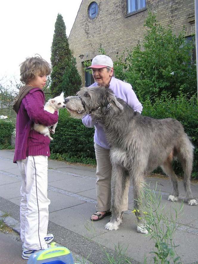 Σκύλοι που δεν έχουν καταλάβει πόσο τεράστιοι είναι (5)