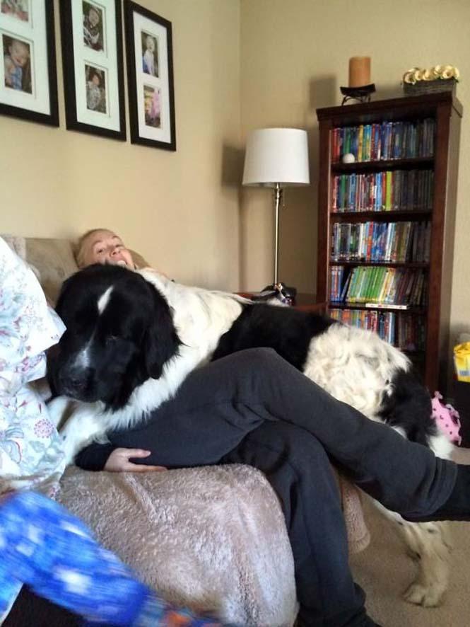 Σκύλοι που δεν έχουν καταλάβει πόσο τεράστιοι είναι (7)
