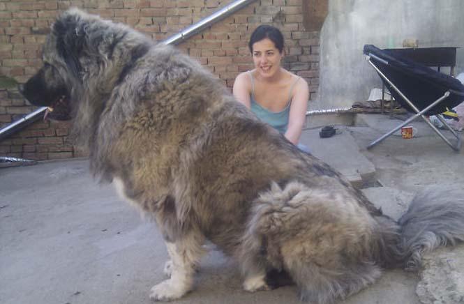 Σκύλοι που δεν έχουν καταλάβει πόσο τεράστιοι είναι (9)