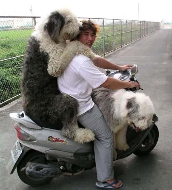 Σκύλοι που δεν έχουν καταλάβει πόσο τεράστιοι είναι (10)