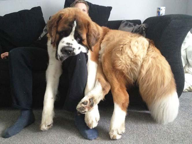 Σκύλοι που δεν έχουν καταλάβει πόσο τεράστιοι είναι (11)