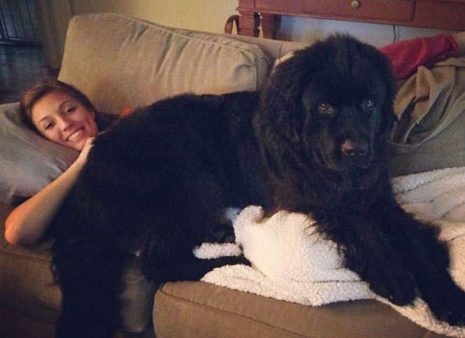 Σκύλοι που δεν έχουν καταλάβει πόσο τεράστιοι είναι (14)