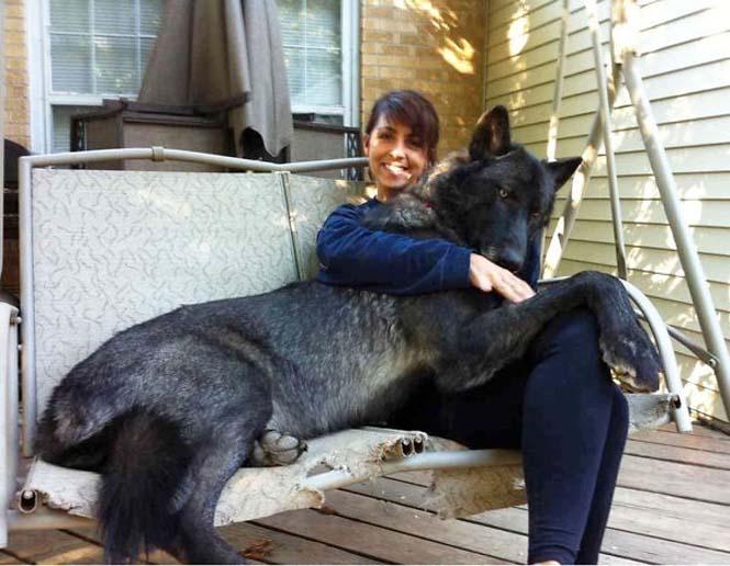 Σκύλοι που δεν έχουν καταλάβει πόσο τεράστιοι είναι (16)