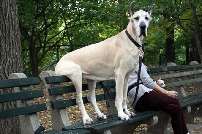 Σκύλοι που δεν έχουν καταλάβει πόσο τεράστιοι είναι (18)