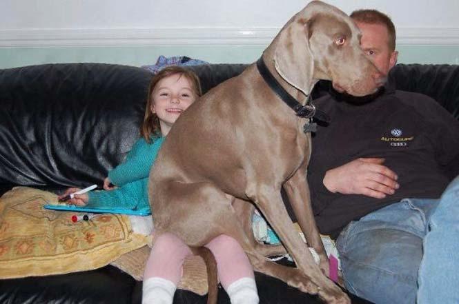 Σκύλοι που δεν έχουν καταλάβει πόσο τεράστιοι είναι (20)