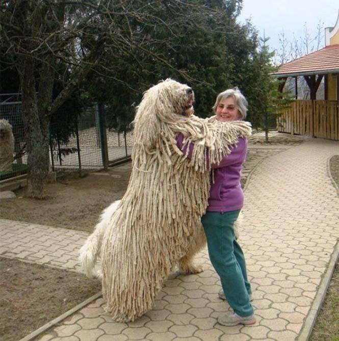 Σκύλοι που δεν έχουν καταλάβει πόσο τεράστιοι είναι (23)