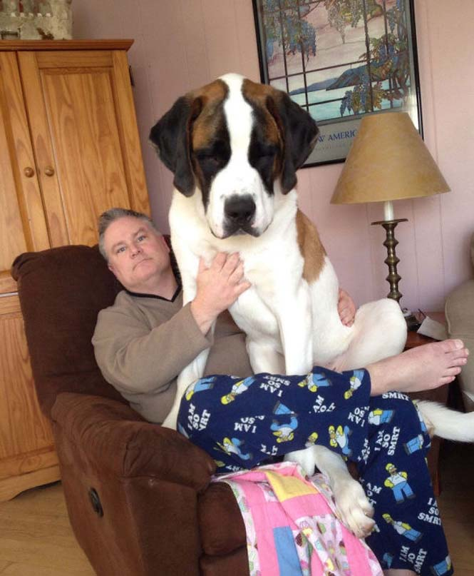 Σκύλοι που δεν έχουν καταλάβει πόσο τεράστιοι είναι (26)