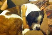 Σκύλοι που δεν έχουν καταλάβει πόσο τεράστιοι είναι (27)