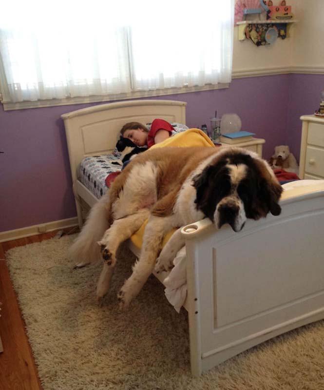 Σκύλοι που δεν έχουν καταλάβει πόσο τεράστιοι είναι (28)