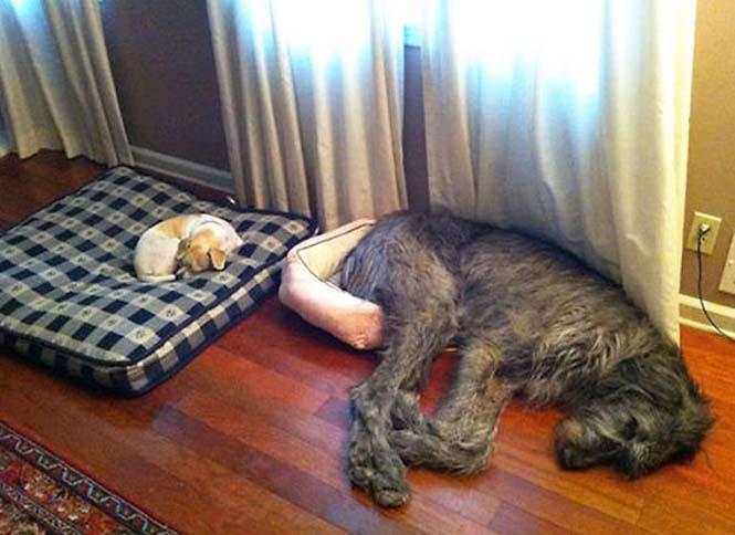 Σκύλοι που δεν έχουν καταλάβει πόσο τεράστιοι είναι (32)