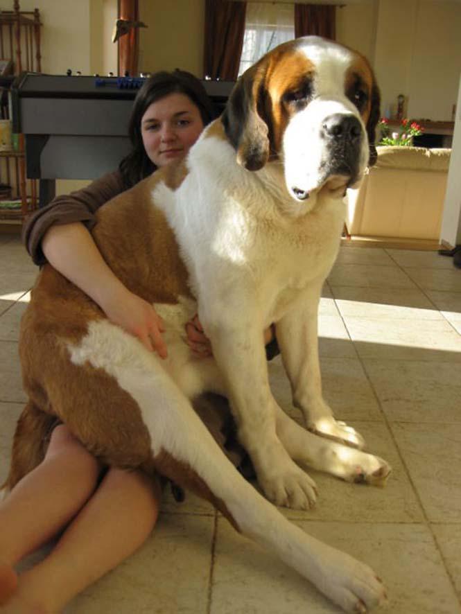 Σκύλοι που δεν έχουν καταλάβει πόσο τεράστιοι είναι (33)