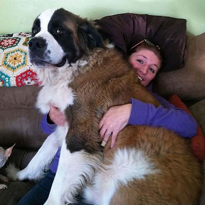 Σκύλοι που δεν έχουν καταλάβει πόσο τεράστιοι είναι (34)