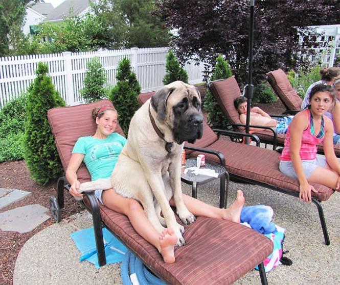 Σκύλοι που δεν έχουν καταλάβει πόσο τεράστιοι είναι (35)