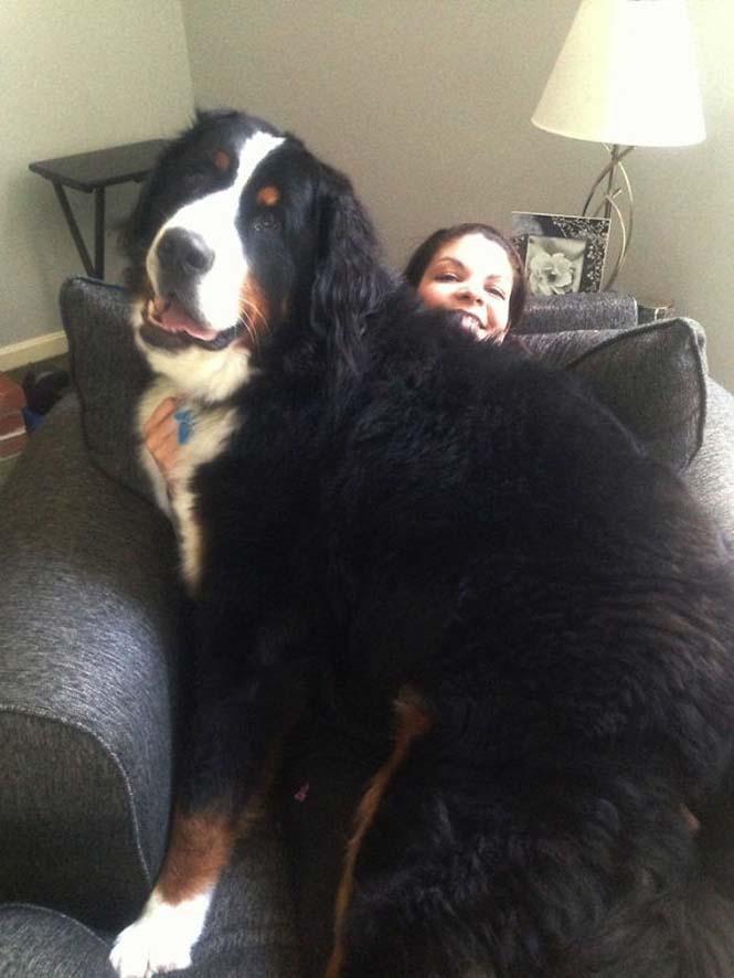 Σκύλοι που δεν έχουν καταλάβει πόσο τεράστιοι είναι (36)