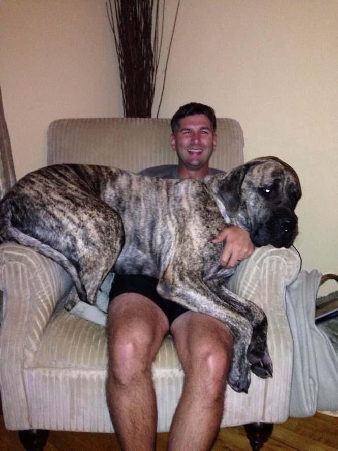 Σκύλοι που δεν έχουν καταλάβει πόσο τεράστιοι είναι (42)