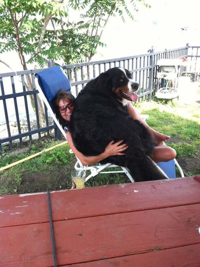 Σκύλοι που δεν έχουν καταλάβει πόσο τεράστιοι είναι (44)