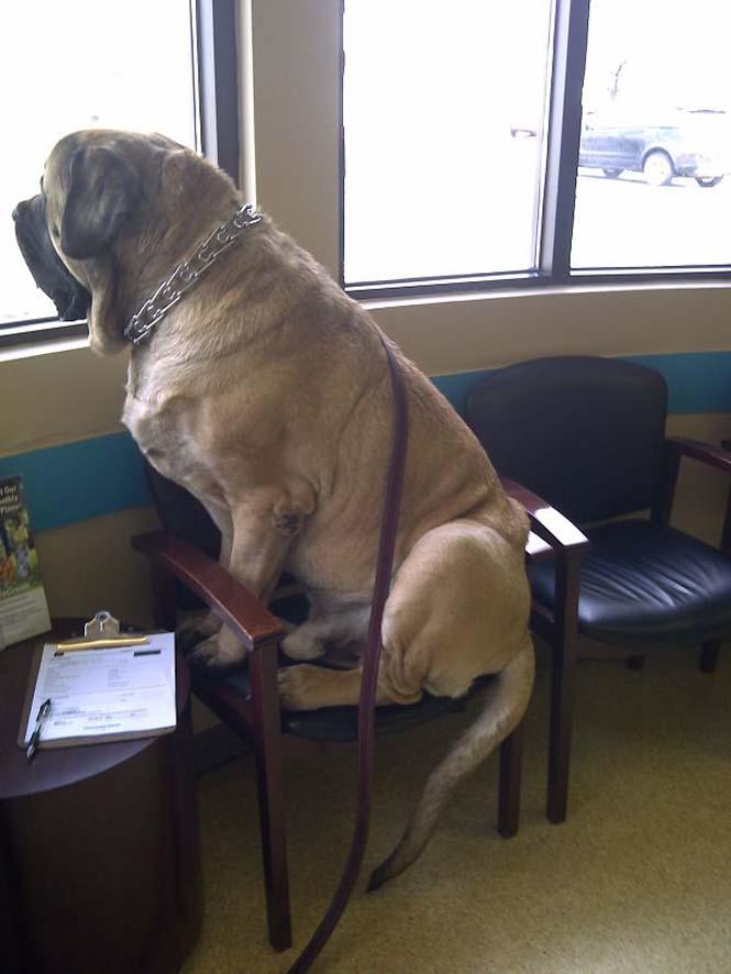 Σκύλοι που δεν έχουν καταλάβει πόσο τεράστιοι είναι (46)