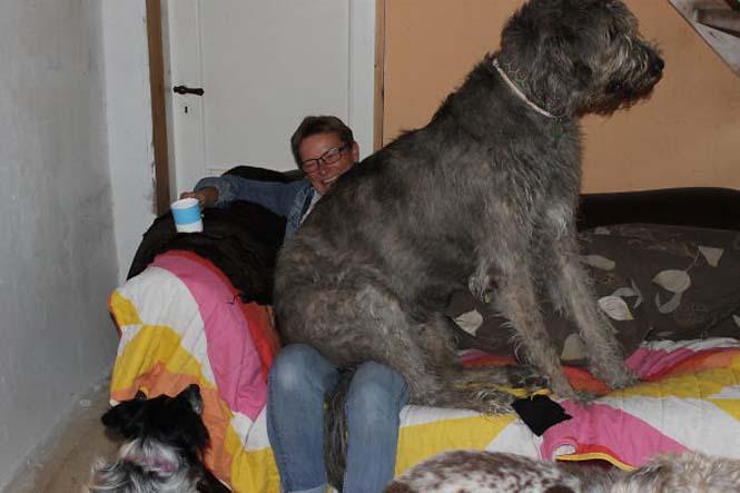Σκύλοι που δεν έχουν καταλάβει πόσο τεράστιοι είναι (47)