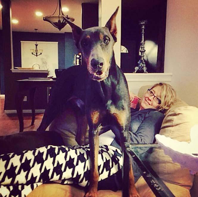 Σκύλοι που δεν έχουν καταλάβει πόσο τεράστιοι είναι (49)