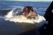 Ανατριχιαστικό βίντεο κατέγραψε τη στιγμή που ένα ταχύπλοο καταδιώκεται από γιγάντιο ιπποπόταμο