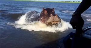 Ανατριχιαστικό βίντεο κατέγραψε τη στιγμή που ένα ταχύπλοο καταδιώκεται από γιγάντιο ιπποπόταμο (Video)