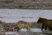 Αρκούδα εναντίον τεσσάρων λύκων