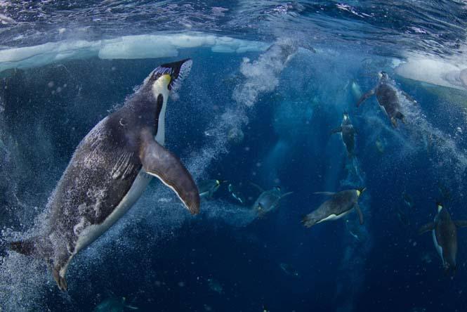 Εκπληκτικές φωτογραφίες της άγριας ζωής από τον Paul Nicklen (1)