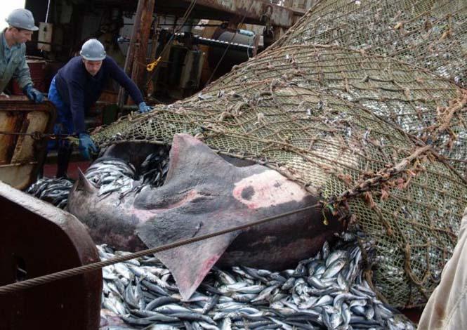 Μεγάλη ψαριά περιείχε κάτι απρόσμενο (4)