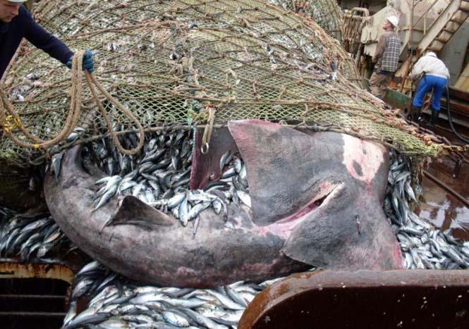 Μεγάλη ψαριά περιείχε κάτι απρόσμενο (5)