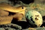 Μικροσκοπικό φίδι πασχίζει να φάει μεγάλο αυγό