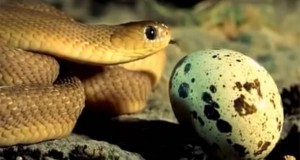 Μικροσκοπικό φίδι πασχίζει να φάει ένα μεγάλο αυγό (Video)