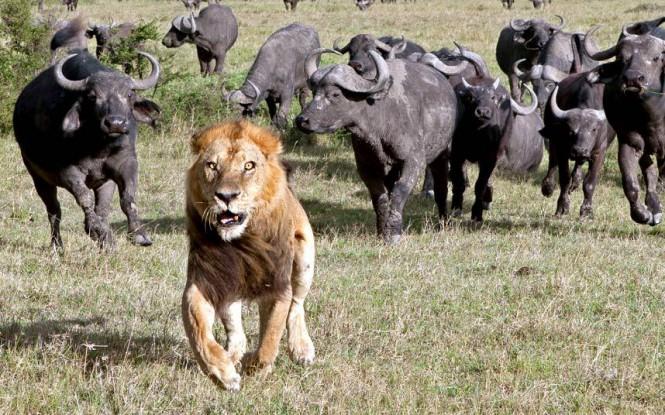 Το τρομαγμένο λιοντάρι | Φωτογραφία της ημέρας