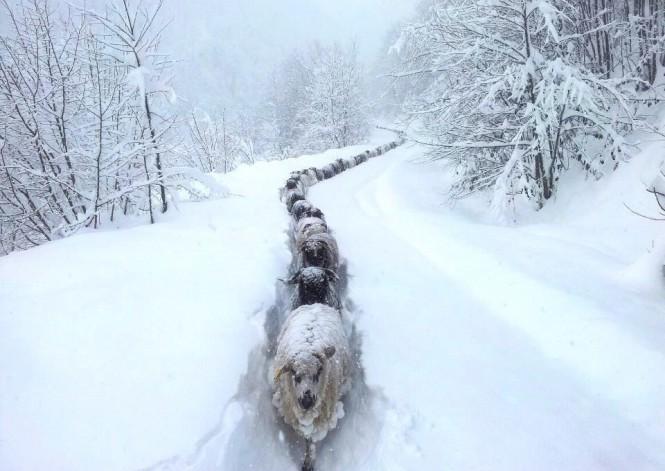 Πρόβατα σε χιονισμένο μονοπάτι | Φωτογραφία της ημέρας